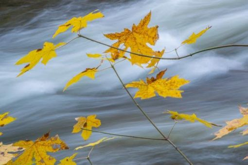 Leaves, River, Yosemite