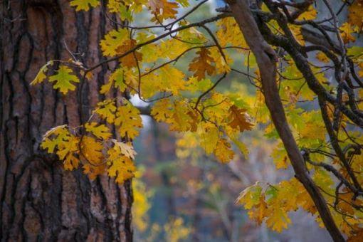 Oaks, Leaves, Yosemite