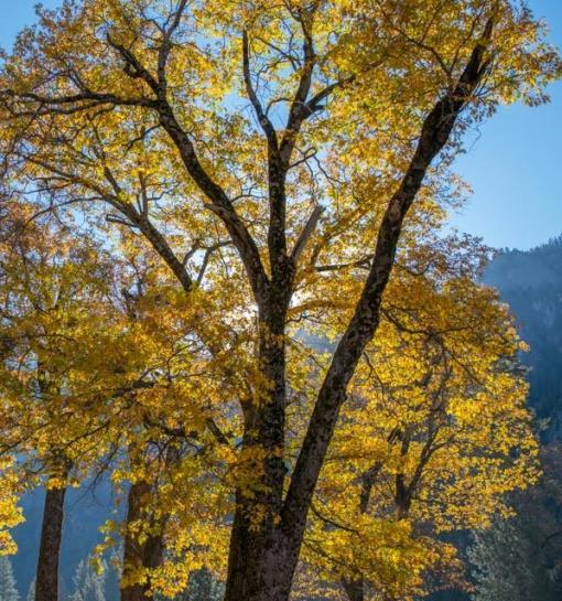 Oaks, Yosemite