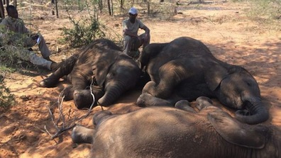 Elephant killings